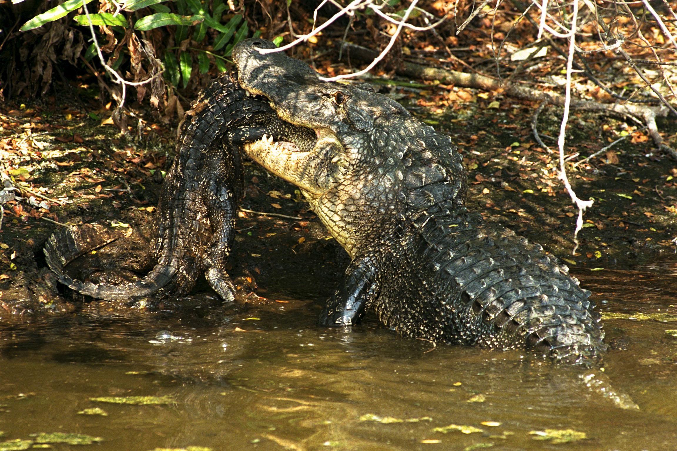 Alligator eaten by snake